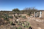 A huge variety of cacti grow abundantly in this arid part of Mexico, and both the fruit and the cladodes of the prickly pear variety are eaten.